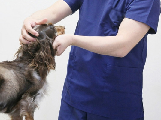 Miniature dachshund to receive a medical examination at the animal hospital