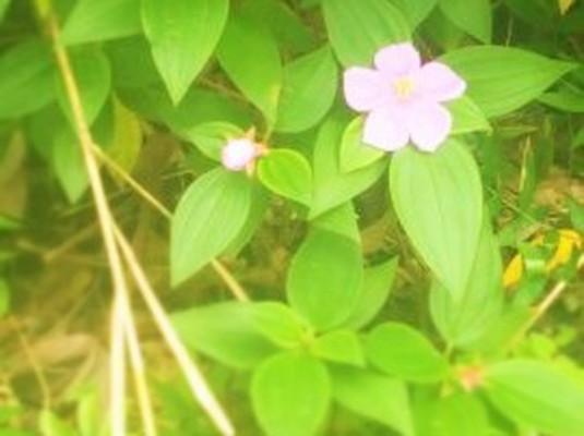 渡嘉敷島の花
