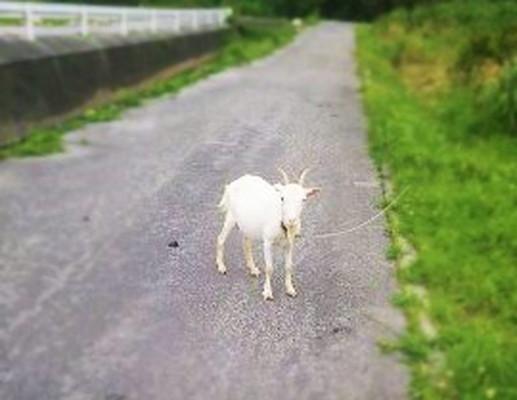 山羊 Goat