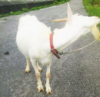 Goat ヤギ
