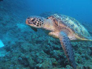 ウミガメ Sea turtle