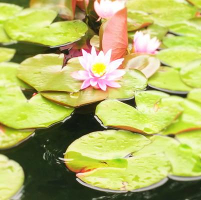 蓮の花The lotus