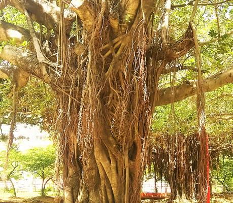 ガジュマルの木 Tree of banyan tree