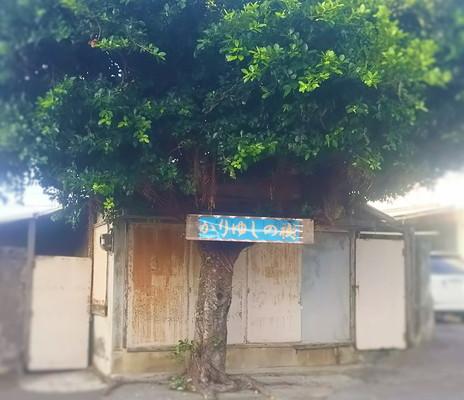 かりゆしの木 Tree of kariyushi