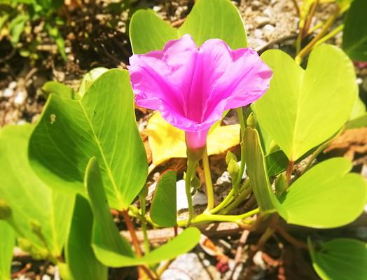 沖縄の花 Flower of Okinawa