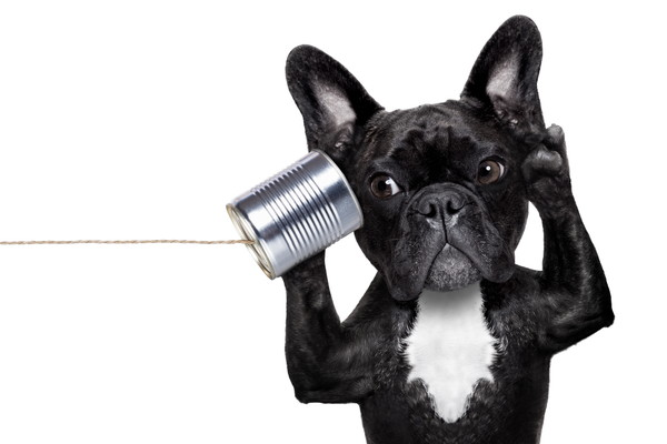 french bulldog dog listening or talking on the can telephone, isolated on white background